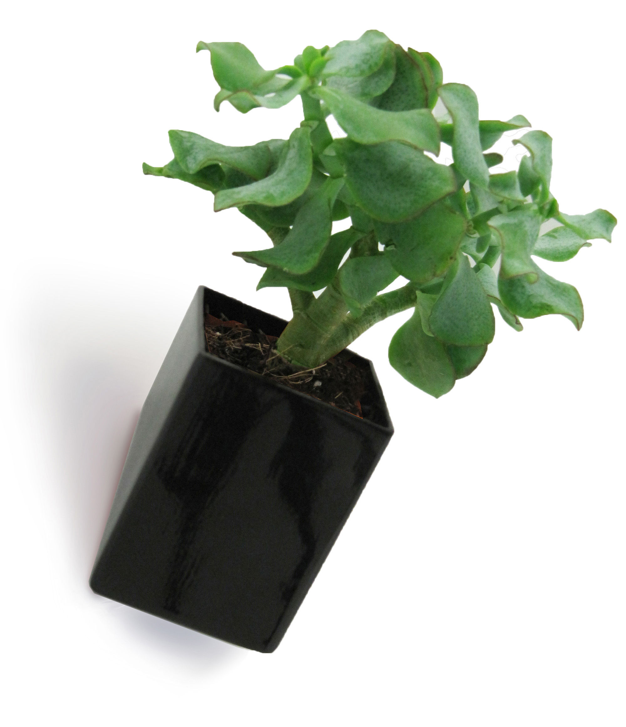 Decoration - Funny & surprising - Off the wall Wall flowerpot - Small / Wall fixation - D 8 cm by Thelermont Hupton - Black - Ceramic